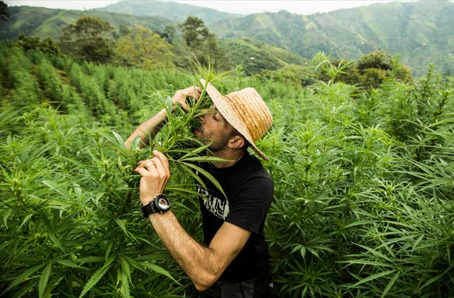 King of Cannabis