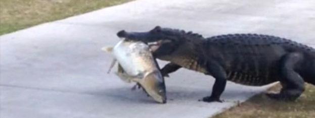 Get Em High Alligator Walks Across Golf Course With Fish